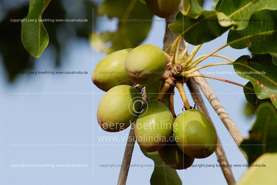 BURKINA FASO, Dorf Sesuala bei Pó , Karite oder Shea Nuesse am Baum - BURKINA FASO, village Sesuala near Pó , shea nuts of shea tree