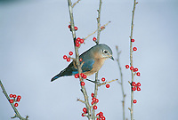 Elegant Female Bluebird, sialia sialis, on bare branch with red holly berries