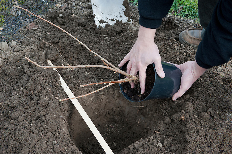 Planting a container-grown blackcurrant bush. Image 2 of 10.