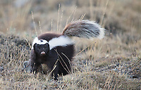 One of the subjects I was most excited to see and photograph was the skunk.  These are the first skunk pictures I've ever taken.