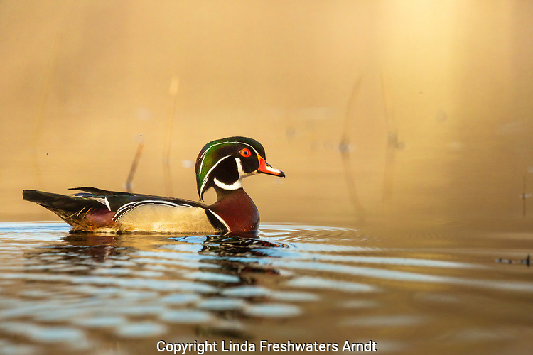 Drake wood duck swimming in a northern Wisconsin lake.