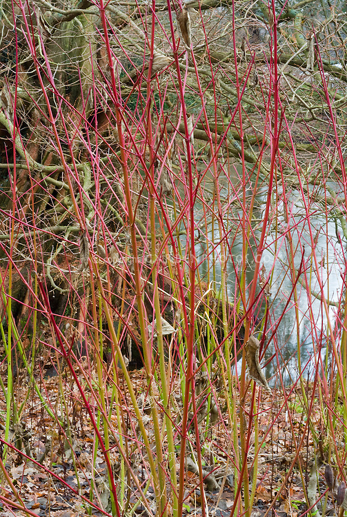 Cornus sericea subsp occidentalis Sunshine in red & green winter stems