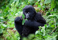 Rwanda, Gorillas