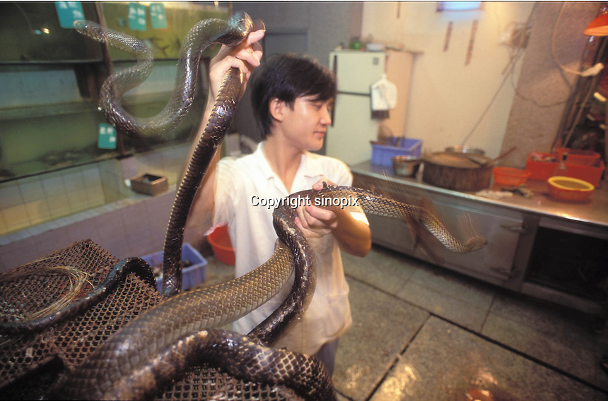 A man handles snakes at a snake restaurant in Guangzhou China...PHOTO BY SINOPIX