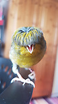 Pictured:  Georgie Shute's photo of Barry.<br /> <br /> A 15 year old girl and her pet canary have become unlikely social media sensations and amassed thousands of followers during lockdown.  Georgie Shute and her 'diva' Gloster Canary Barry first started to gain attention after people noticed the bird's unusual bowl style 'haircut'. <br /> <br /> The schoolgirl said that Barry, who she affectionately refers to as 'Birb', went viral after she snapped a picture of him bathed in rainbow sunlight showing off his plumage.   She posted the picture online and was instantly overwhelmed with messages - and her Instagram account 'barrybirb' now has just under 11,000 followers.   SEE OUR COPY FOR DETAILS.<br /> <br /> © Georgie Shute @Barrybirb/Solent News & Photo Agency<br /> UK +44 (0) 2380 458800