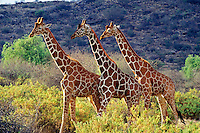 Reticulated Giraffes (Giraffa camelopardalis reticulata), Samburu National Reserve, Kenya.