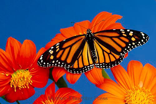 Female monarch butterfly on Danaus plexippus on Tithonia flower