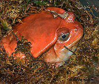 1216-07rr  Tomato Frog - Dyscophus antongili - © David Kuhn/Dwight Kuhn Photography.