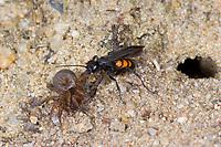 Frühlings-Wegwespe, Frühlingswegwespe, mit erbeuteter Spinne am Nesteingang, Anoplius viaticus, Anoplius fusca, black-banded spider wasp, Pompilidae, Wegwespe, spider wasps, pompilid wasps, spider wasp, pompilid wasp, les Pompiles