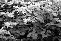 Infrared fig tree.<br /> <br /> Nikon F3HP, 24mm lens, Kodak High Speed infrared film, red filter