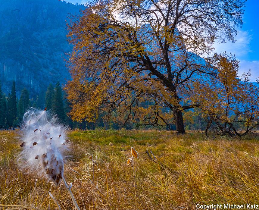 Milkweed and Elm, Yosemite
