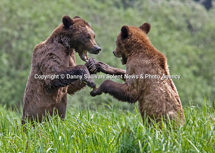 Sequence 7 of 9:  Young bears look like they're dancing as they play fight in the morning sun.  The two animals had just swum across an inlet in the Khutzeymateen Grizzly Bear Sanctuary in Canada's British Colombia when they indulged in some horseplay.<br /> <br /> The images were captured by amateur wildlife photographer Danny Sullivan.  SEE OUR COPY FOR DETAILS.<br /> <br /> Please byline: Danny Sullivan/Solent News<br /> <br /> © Danny Sullivan/Solent News & Photo Agency<br /> UK +44 (0) 2380 458800