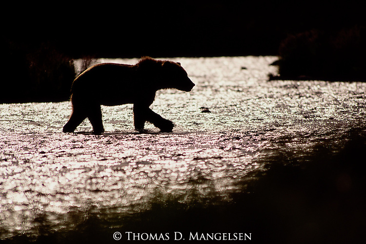 Crossing a small creek on Kodiak Island at sunset, a lone brown bear returns to the shore where he will bed down in nearby grasses to pass the night.