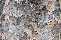 Stock photo - bark of cherry blossom tree.