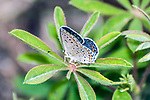 karner blue butterfly female laying eggs on wild lupine side view, concord, new hampshire