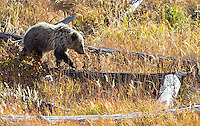 """A grizzly bear cub (nicknamed """"Snow"""" by some due to its light fur) explores deadfall near Yellowstone Lake."""