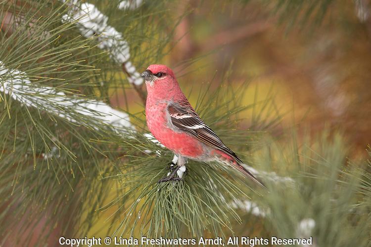 Male pine grosbeak in northern Wisconsin.