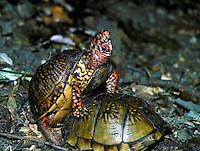 Two ornate box turtles mating, Terapene ornata ornata