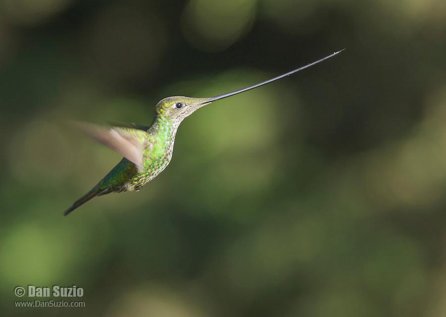 Sword-billed hummingbird, Ensifera ensifera, Nono, Ecuador