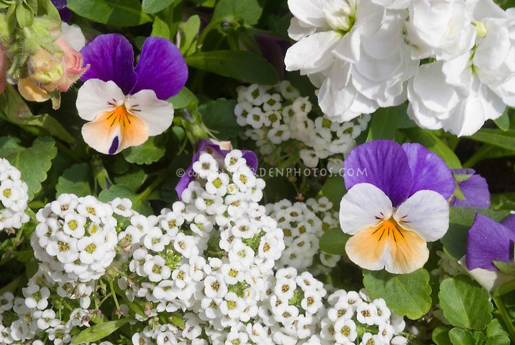 Heirloom flowers: Viola tricolor, Lobularia Snow Princess and Matthiola incana stocks - three cool weather annuals in flower togethe