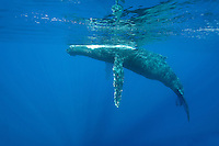 Humpback whales migrate to Hawaii every winter; this one was seen near Maui.