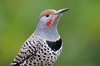 Northern Flicker (Colaptes auratus). Washington County, Oregon. November.