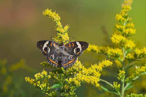 Common Buckeye butterfly (Junonia coenia) on goldenrod has bold eyespots to startle or distract predators and allow a quick escape.  Autumn, Ontario, Canada.