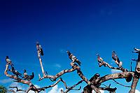 Pidgeons on a tree, Netherland Antilles, Caribbean, Atlantic, Bonaire, Bonaire