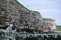 Vogelfelsen mit Kolonie von Dreizehenmöwe, Dreizehen-Möwe, Möwe, Dreizehenmöve, Rissa tridactyla, kittiwake, Norwegen, Halbinsel Varanger, Ekkeroya