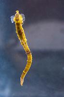 Pacific Ocean seahorse, Hippocampus ingens, range: Colombia, Costa Rica, Ecuador, El Salvador, Guatemala, Mexico, Panama, Perus and the west coast of the United States ( c )