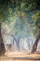 African bush elephant, African savanna elephant, Loxodonta africana, Mana Pools National Park, Zimbabwe