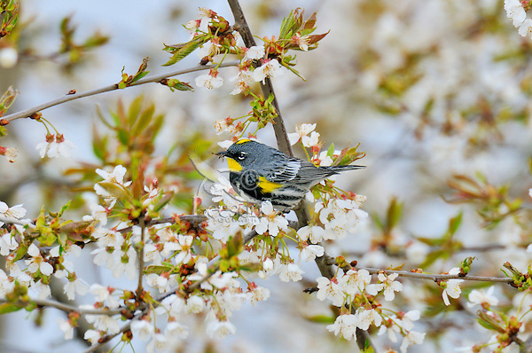 Male Yellow-rumped warbler (Dendroica coronata) in flowering cherry tree.  Pacific Northwest.  Spring..