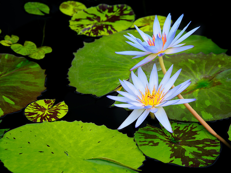 Blue tropical water lily.