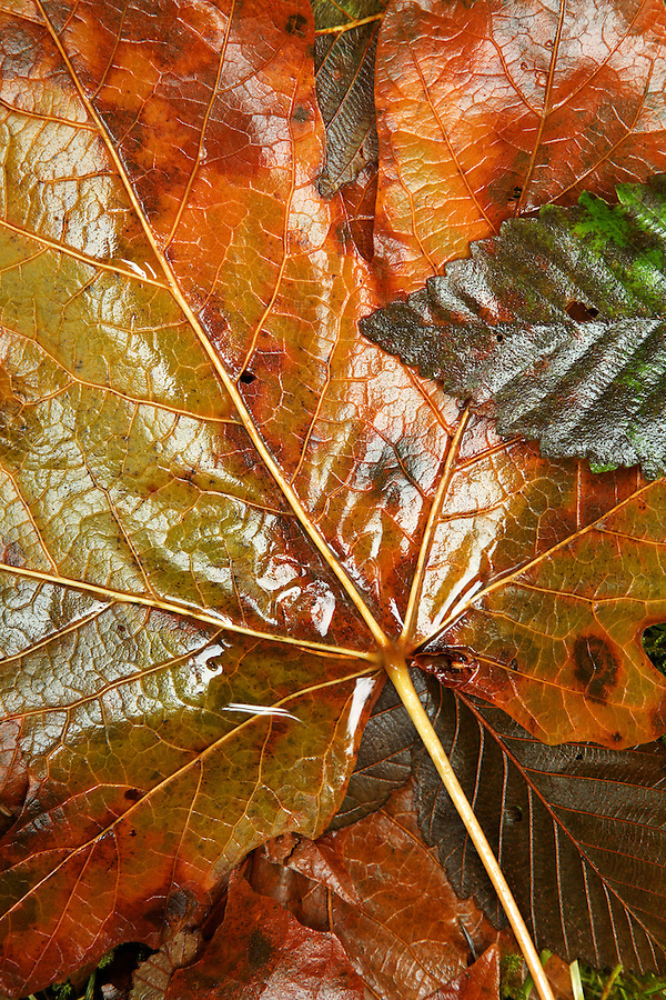 Wet fallen autumn leaves, Washington Cascade Mountains