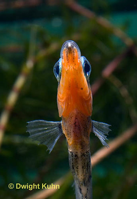1S14-598z  Male Threespine Stickleback, Mating colors showing bright red belly and blue eyes, close-up of face, Gasterosteus aculeatus,  Hotel Lake British Columbia