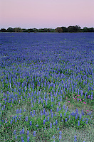 Texas Bluebonnets at dusk, Natalia, Medina County,Texas, USA