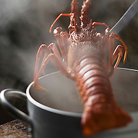 """Europe/France/Bretagne/29/Finistère/Lannilis/Prat-Ar-Coum: Langouste rouge royale bretonne des Viviers d""""Yvon Madec à  Prat-Ar-Coum - Stylisme : Valérie LHOMME //  France, Finistere, Lannilis,  Prat-Ar-Coum,  Breton red lobster or spiny lobster,   fish pond: Yvon Madec"""