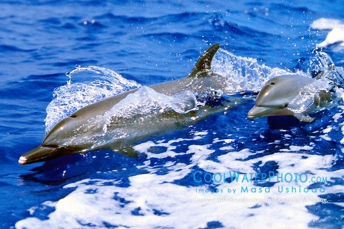 pantropical spotted dolphin mother and calf, .Stenella attenuata, wake-riding, .Big Island, Hawaii (Pacific).