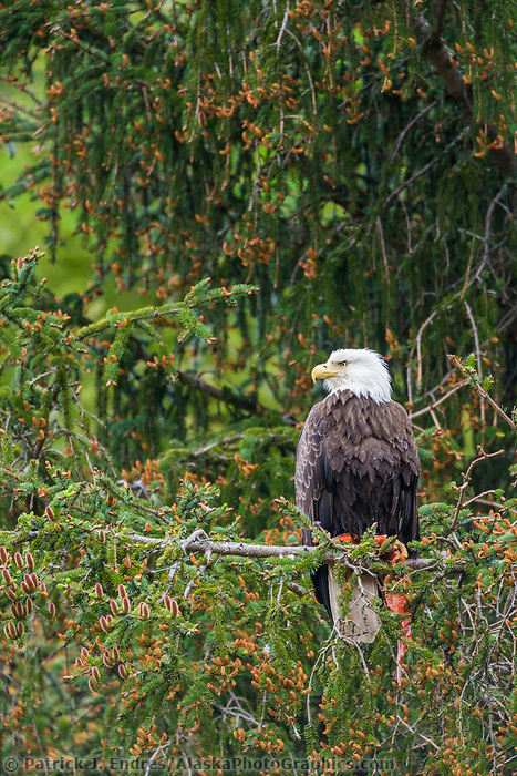 Bald Eagle perched in a tree, Cordova, Alaska
