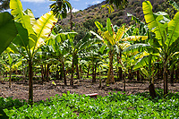Tanzania.  Mto wa Mbu. Banana Plantation.