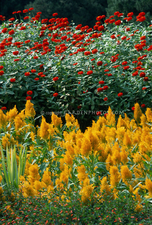 Zinnia 'Torch' and Celosia Golden Triumph with Cigar Flower Cuphea ignea, hot colored garden bed annual flowers