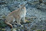 Mountain Lion (Puma concolor) six month old male cub, Torres del Paine National Park, Patagonia, Chile