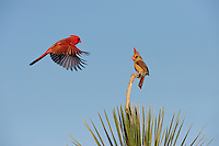 Northern Cardinal (Cardinalis cardinalis), pair landing on yucca, Dinero, Lake Corpus Christi, South Texas, USA