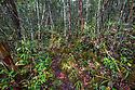 Montane mossy heath forest or 'kerangas' on the southern plateau of Maliau Basin, Sabah's 'Lost World', Borneo.