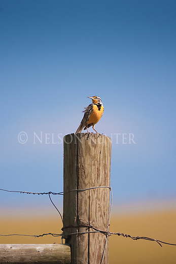 A Western Meadowlark perched on a fence post