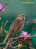 SW01-503z Song Sparrow Male, Melospiza melodia.