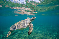 flatback sea turtle, Natator depressus, adult, rising toward surface to breathe, endemic to Australian continental shelf, Australia, Pacific Ocean