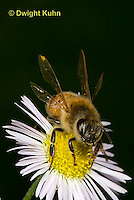 1B01-512z  Honeybee about to fly from flower, 4 wings spreading for flight, Apis mellifera