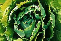 Cabbage, Delta Junction, Alaska