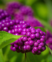 Beautyberry fruit, Callicarpa